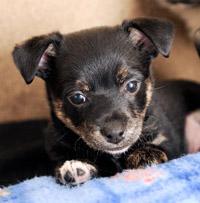 Little black puppy
