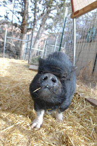 Scarlett Lilly the pig at Best Friends Animal Sanctuary