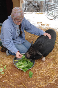 Scarlett Lilly the pig being fed lettuce by a caregiver