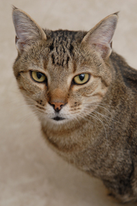 Tabby cat Spencer who has FIV