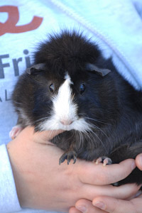 Stella the guinea pig