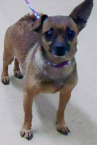 Adoptable Chihuahua dog from Davis County Animal Services