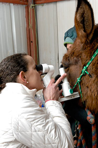 Dr. Susan Kirschner, a vet ophthalmologist, performing an eye exam on a large animal
