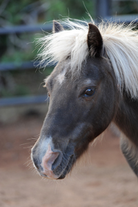Toffee the Shetland pony