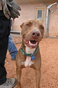 Abused pit bull who is forgiving and lives in the here and now