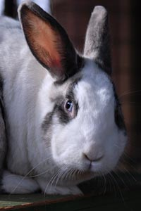 Beautiful white and gray rabbit