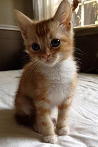 Adorable orange and white foster kitten