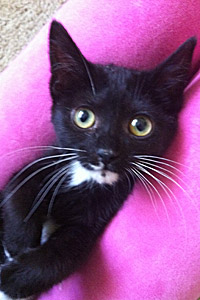 Cute tuxedo kitten needing a foster home