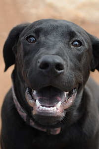 Black puppy named Monarch panting and smiling