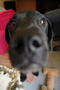 All-black puppy with brown eyes named Monarch