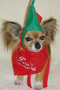 Rosa the Chihuahua, who was rescued from a puppy mill, wearing a Christmas outfit