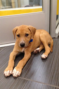 Puppy adoptable from L.A. Love & Leashes in the Westside Pavilion Mall