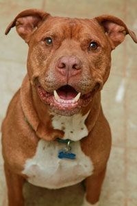 Brownish red pit bull named Screech