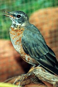 Young robin bird