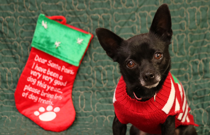 Simone the small dog is available for adoption from the Yucaipa Animal Placement Society.