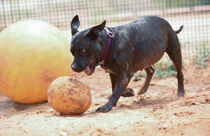 Lordes the black pit bull acting like an egg-rolling mongoose