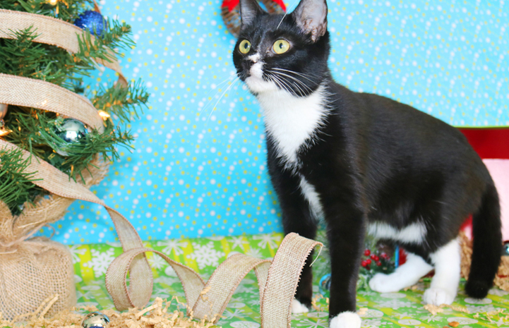 Quincy the black and white cat is available for adoption from Palmetto Animal League.