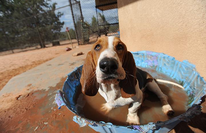 Basset hound sitting in a kiddie pool