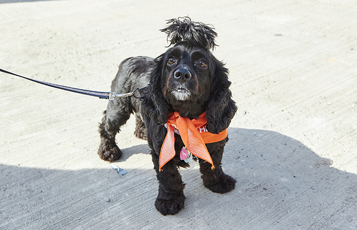 Black cocker spaniel with fur in bun at Strut Your Mutt