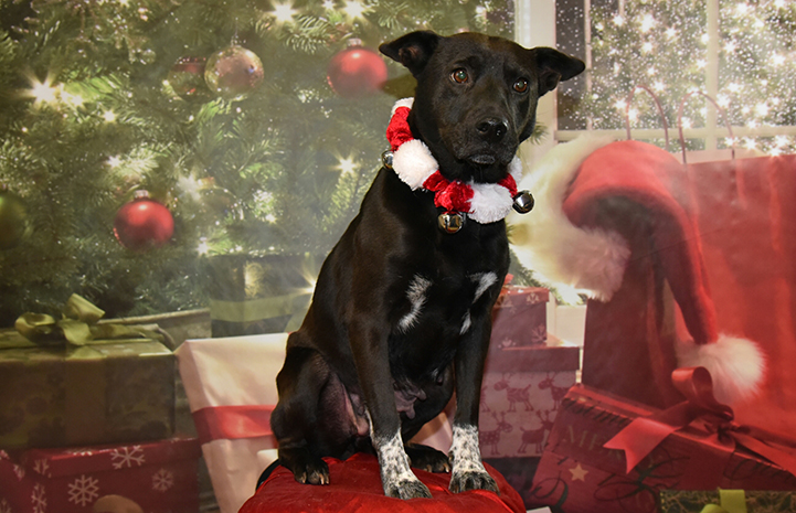 Rizzo the black dog is available for adoption from Knox-Whitley Humane Association.