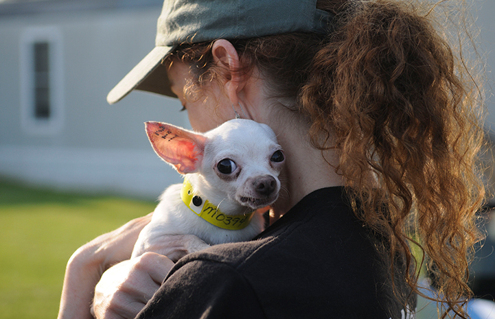 Chihuahua being rescued from a puppy mill