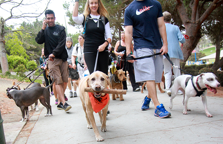 Yellow lab holding a stick in is mouth at Strut Your Mutt