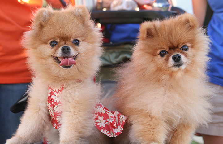 Two Pomeranians at Strut Your Mutt