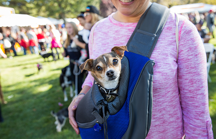 Small dog being carried at Strut Your Mutt