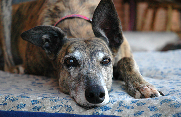 Greyhound lying down on a bed