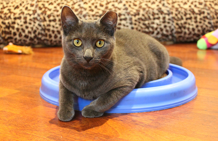 JoJo the gray cat is available for adoption from Karma Cat & Zen Dog Rescue Society.