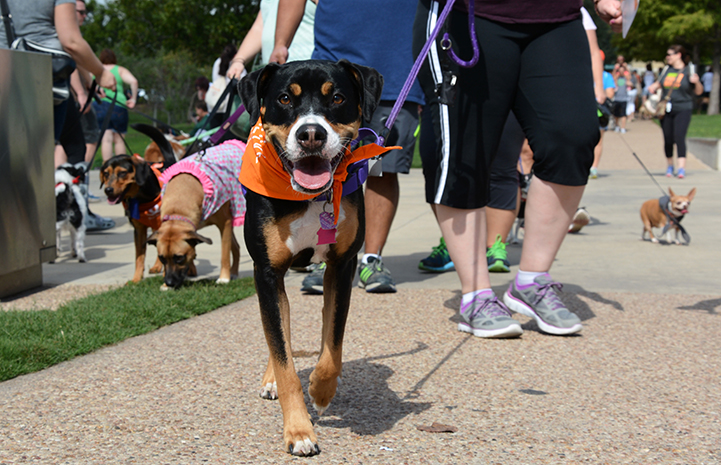 Smiling dog in orange bandanna at Strut Your Mutt