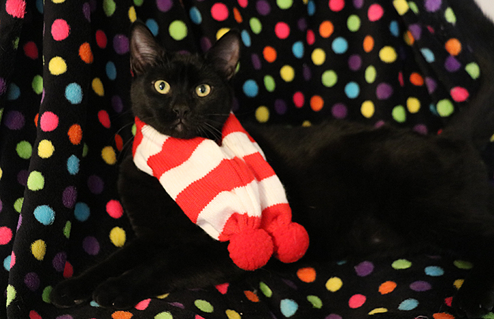 Buckwheat the black cat is available for adoption from the Yucaipa Animal Placement Society.