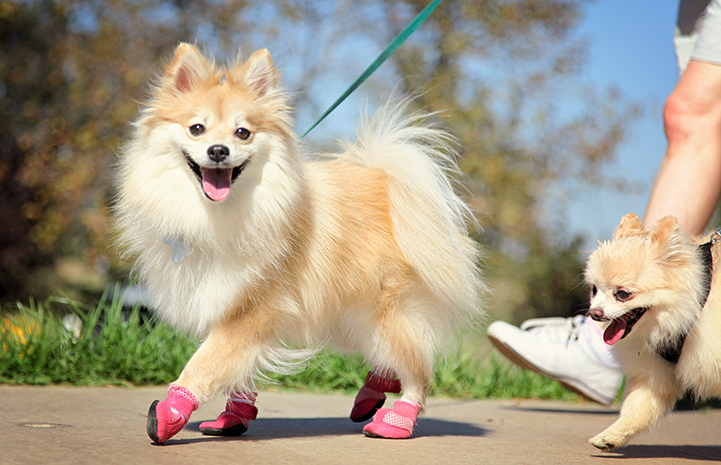 Walking Pomeranian wearing pink booties at Strut Your Mutt