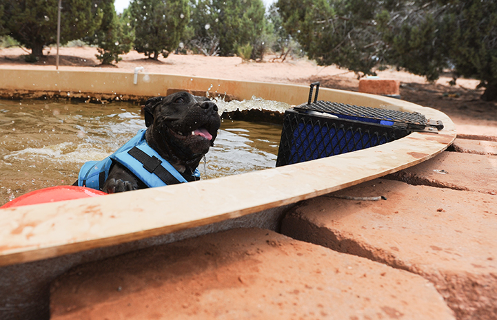Black pit bull named Lordes playing in the water