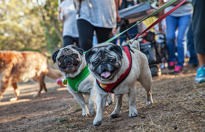 Two pugs being walked at Strut Your Mutt