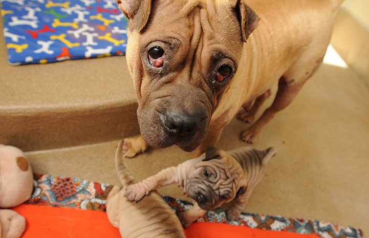 Shar pei mamma dog with her puppies