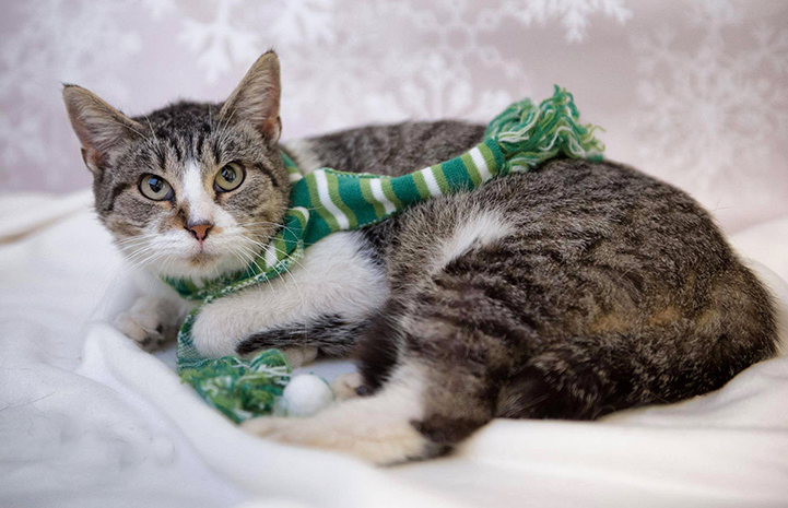 Madre the tabby cat is available for adoption from Boone Area Humane Society.