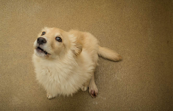 Fluffy white and tan pup