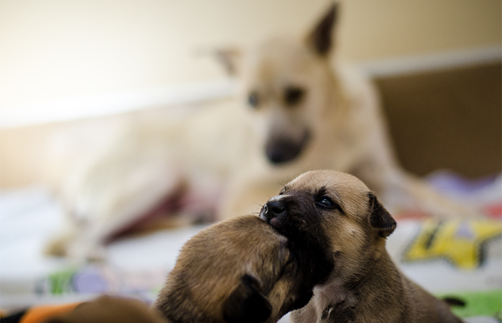 Two puppies playing with their mother in the background