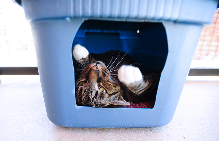 Bo the tabby cat playing in a container