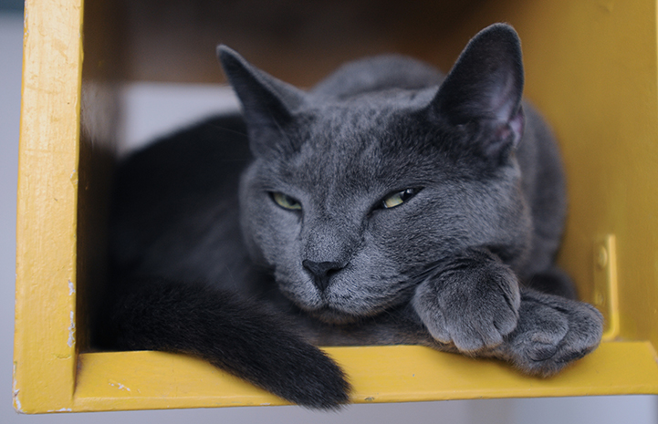 Zee an all-grey cat is available for adoption