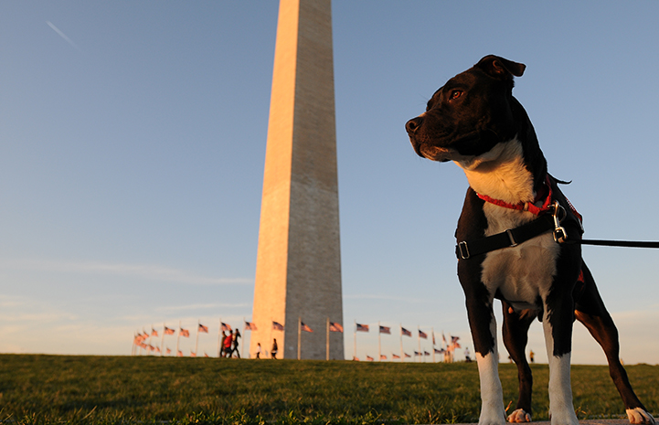 Fourth of July black and white pit bull terrier in front of the Washington Monument