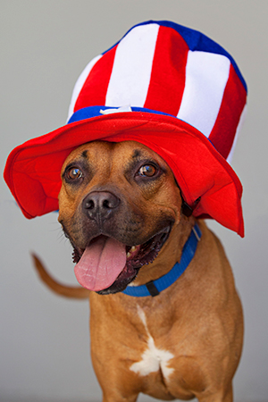Fourth of July brown pit bull terrier wearing a red, white and blue Uncle Sam hat