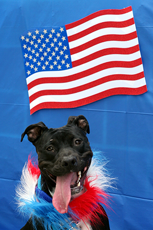Fourth of July black pit bull terrier wearing a red, white and blue boa in front of an American flag