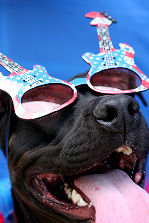Fourth of July black pit bull terrier wearing a red, white and blue glasses with guitars