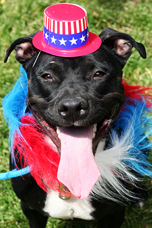Fourth of July black pit bull terrier wearing a red, white and blue Uncle Sam hat