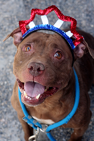 Fourth of July brown pit bull terrier wearing a red, white and blue tiara