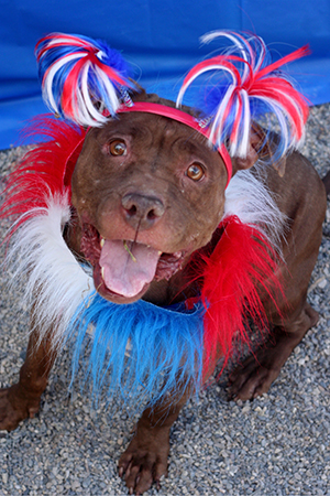 Fourth of July brown pit bull terrier wearing red, white and blue pom poms