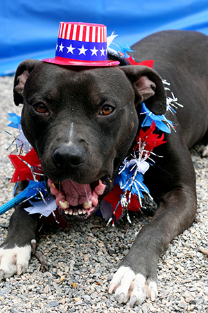 Fourth of July black pit bull terrier wearing an Uncle Sam hat