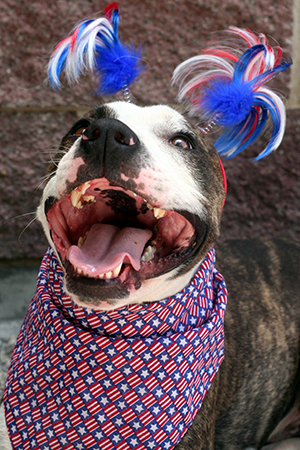 Fourth of July white and grey pit bull terrier wearing a red, white and blue pom poms and bandanna